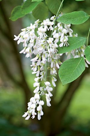 Flowering tree american yellowwood cladrastis kentukea 30 50 ft flowering tree american yellowwood cladrastis kentukea 30 50 ft zones 4 to 9 drooping panicles of fragrant white flowers put on a great show in early mightylinksfo