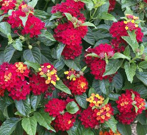 Lantana Bandito Red Flower Tower Wonderful Flowers Pretty Plants