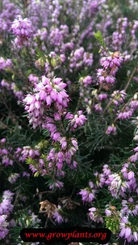 Heather Plant Pink Flowers Heather Plant Plants Planting Flowers