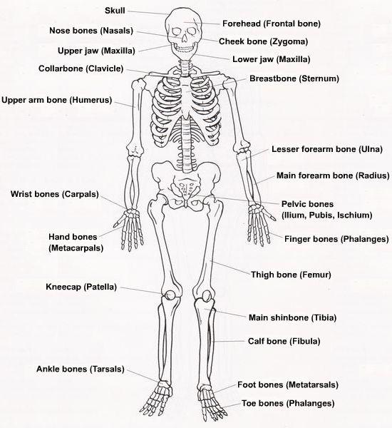 diagram of human skeleton for students high school art. Black Bedroom Furniture Sets. Home Design Ideas