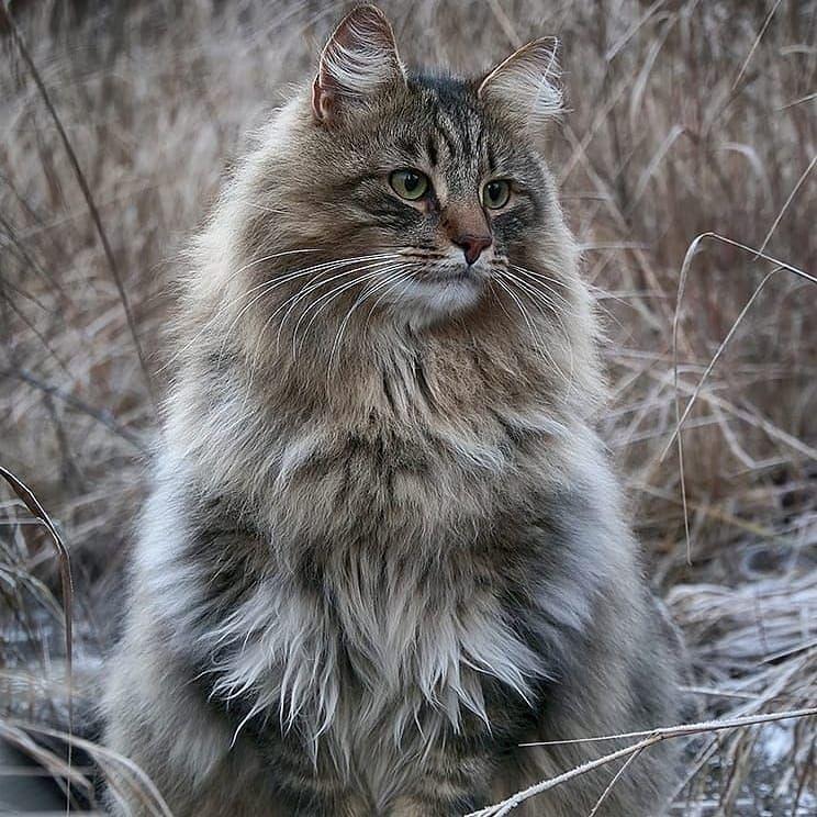 Trouvez Les Dernieres Tendances Et Les Meilleures Ventes Pour Votre Boule De Poils Cat Chat Kitt En 2020 Chat Des Forets Norvegiennes Dresser Un Chien Jolis Chats