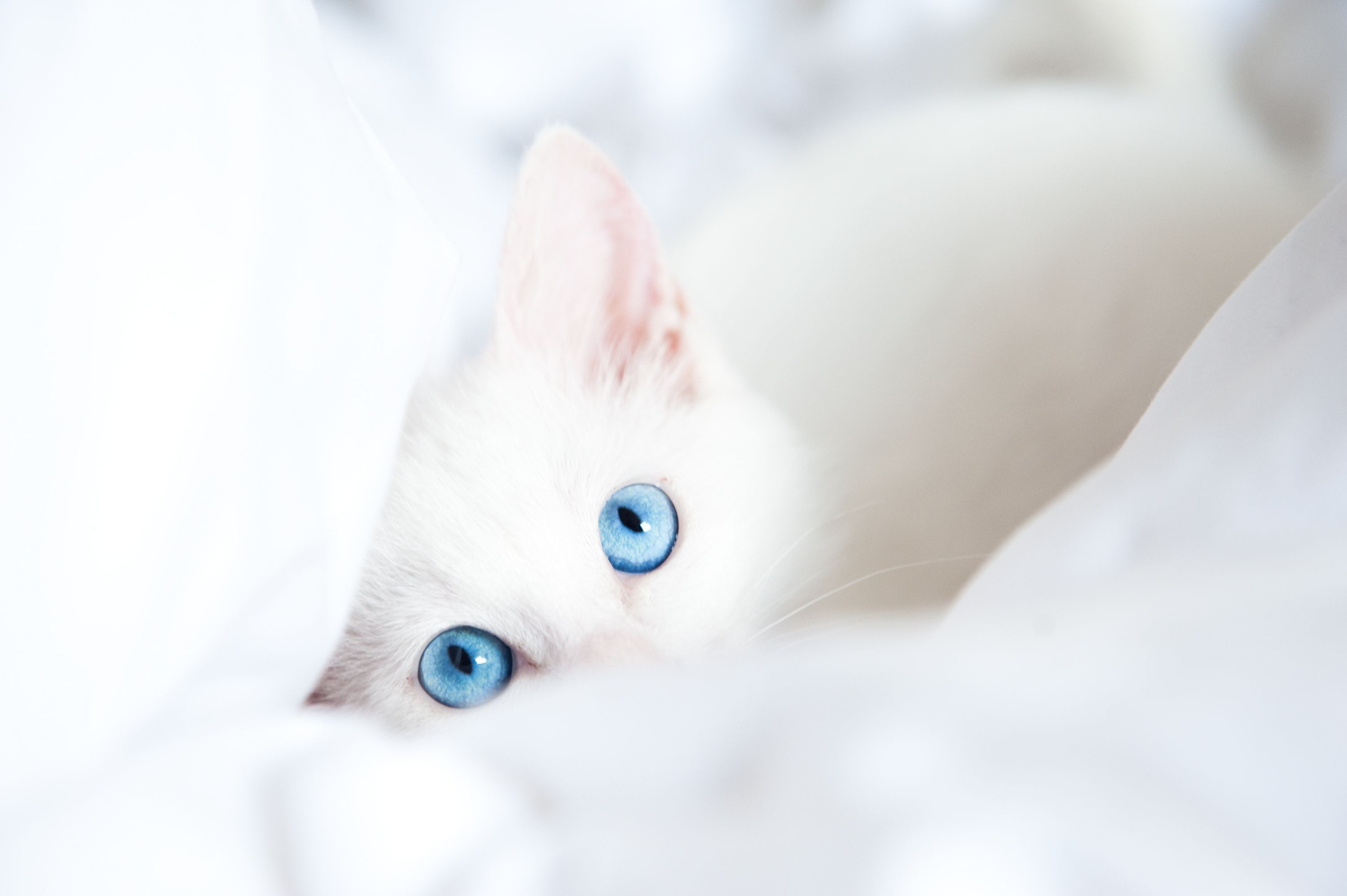 Pin By Sarah Demayo On Animals With Images White Cats