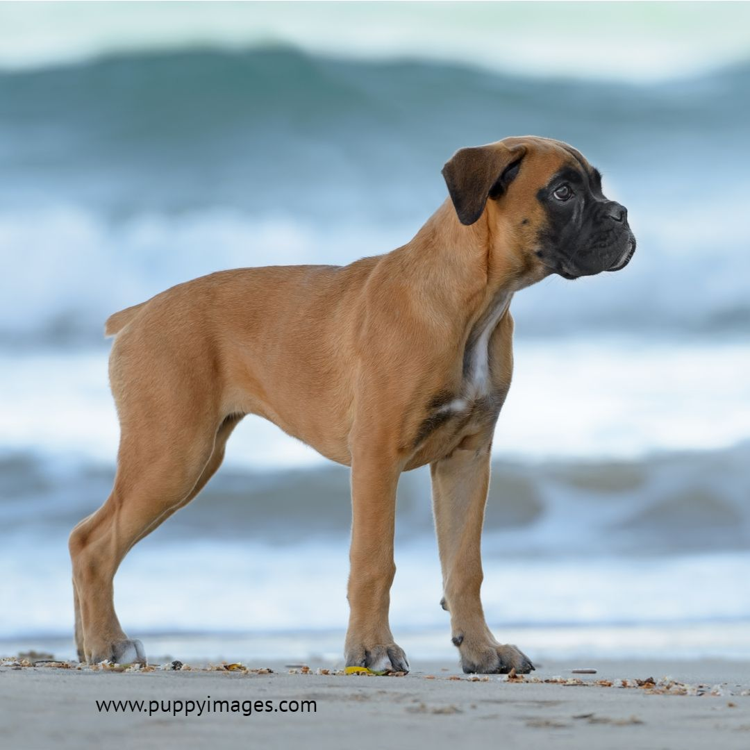 Female Boxer Puppy On The Beach Boxer Puppy Female Boxers Boxer