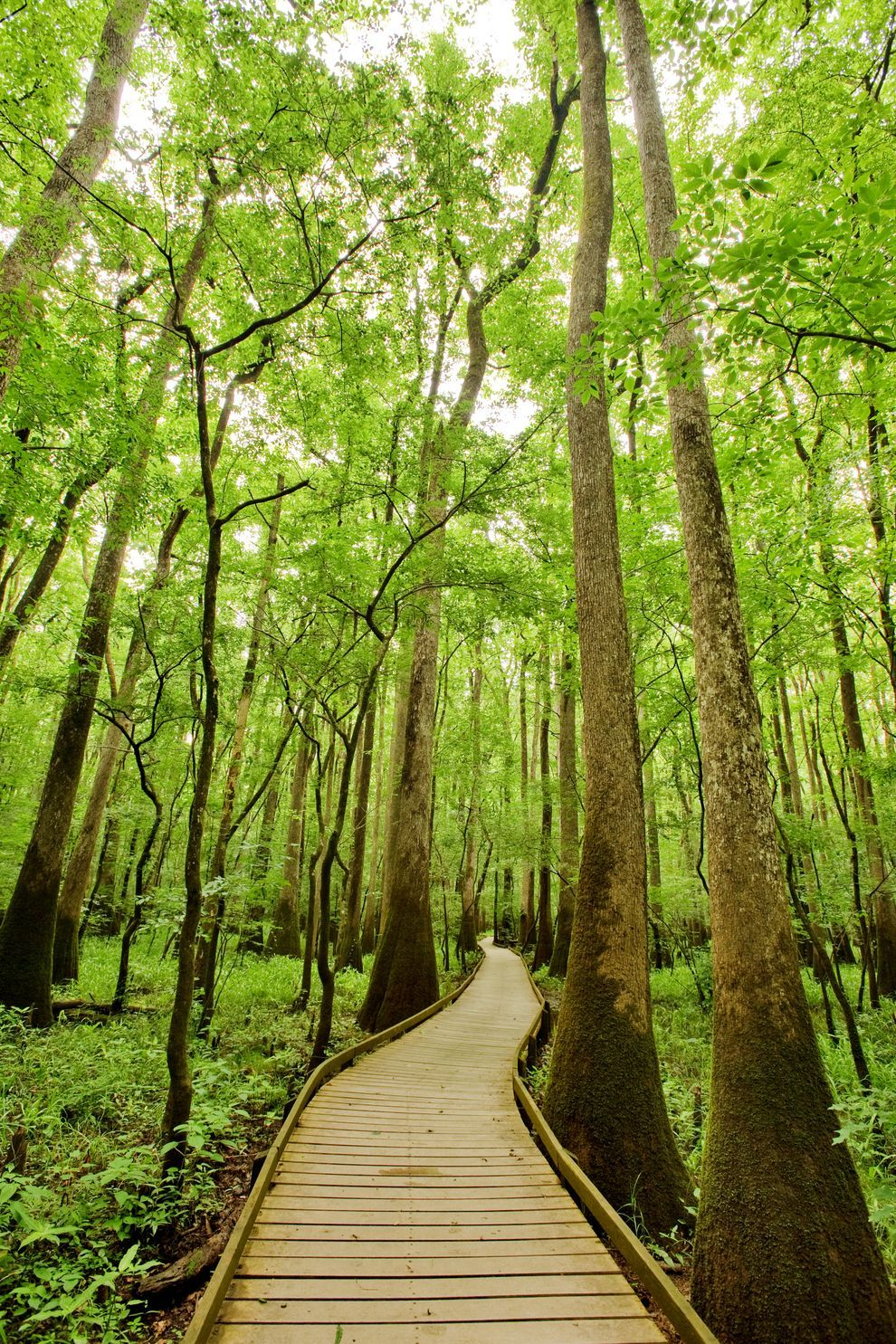 how we nearly lost the south s largest old growth floodplain forest rh pinterest com
