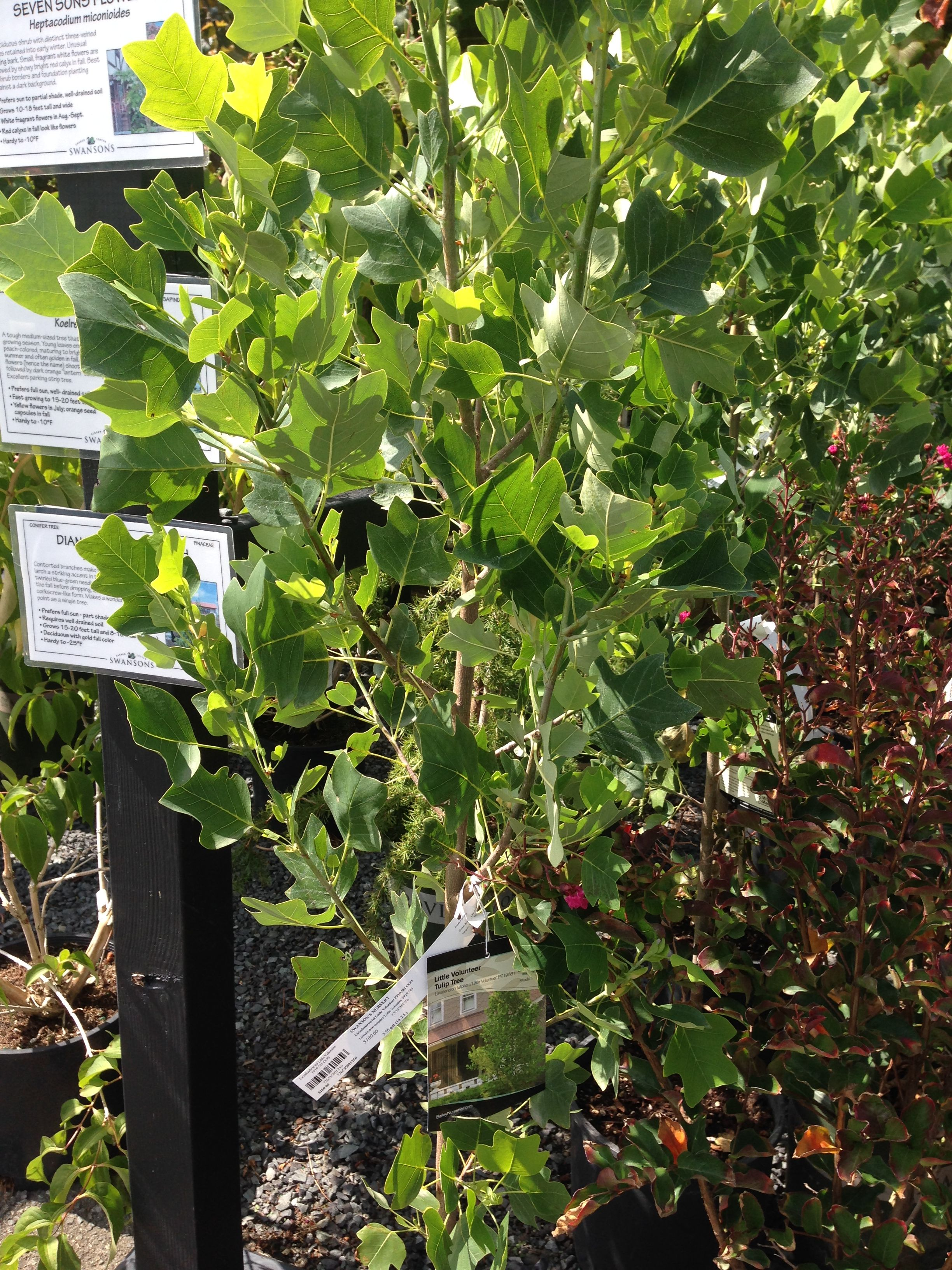 Liliodendrom little volunteer city side strip pinterest liliodendrom little volunteer izmirmasajfo