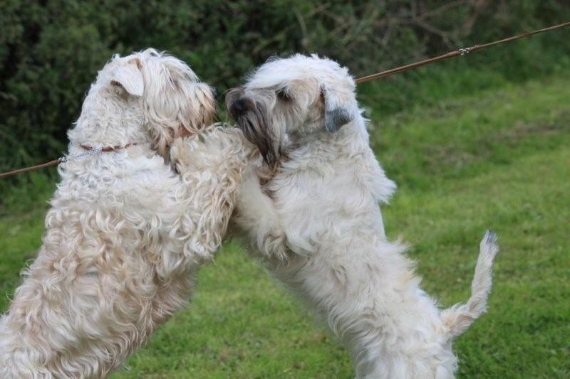 House hugging wtnsjpg soft coated wheaten terrier
