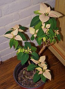 Poinsettia Wikipedia The Free Encyclopedia Poinsettia Indoor Plants Plants