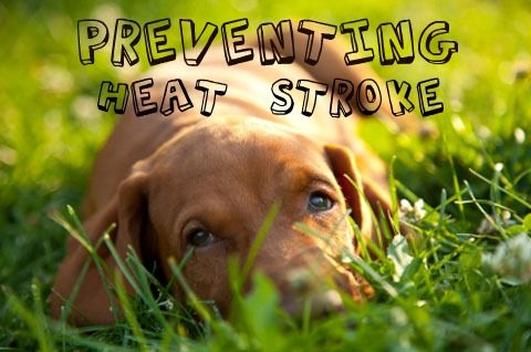 Tips For Preventing Heat Stroke In Pets When All Else Fails Bring Immediatly To A Vet Embrace Pet Insurance Dog Health Pet Insurance Cost