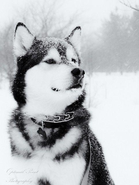 Siberian Husky Snow Snowdogs Merry Christmas Card Puppy Holiday