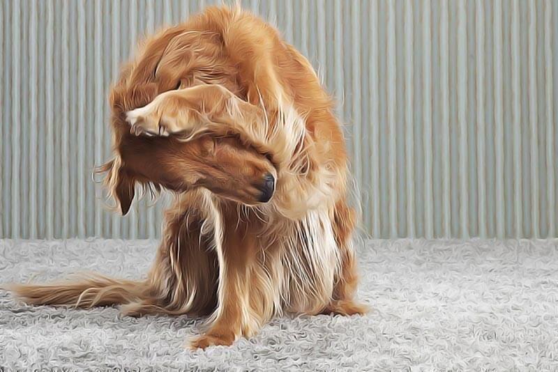 comment traiter naturellement son chien contre les puces. Black Bedroom Furniture Sets. Home Design Ideas