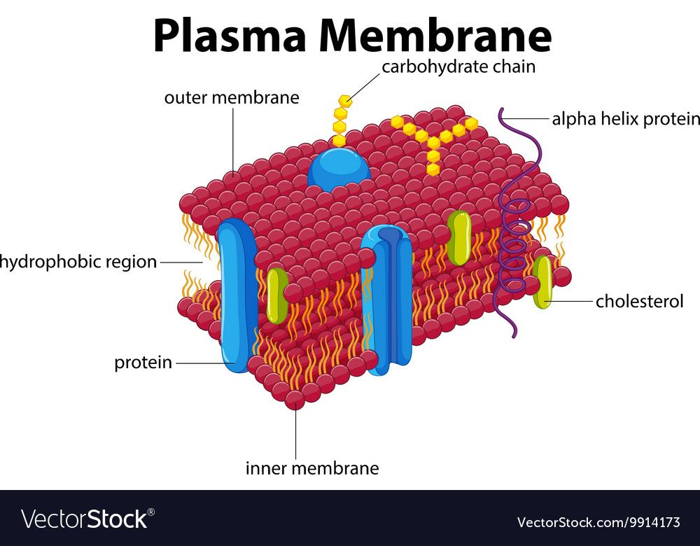 diagram with plasma membrane download a free preview or on cell wall function id=59002