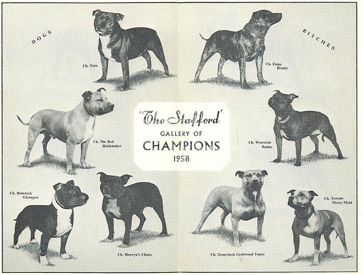 Breed Standard Of Northern Ireland Staffordshire Bull Terrier Club