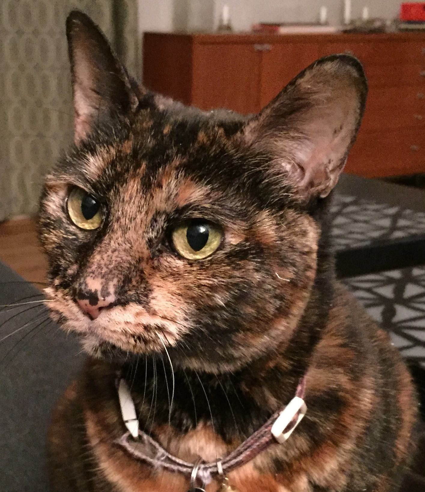 Connecticut Humane Society torti LOST PET ALERT: Lost since 9/28/15 ...