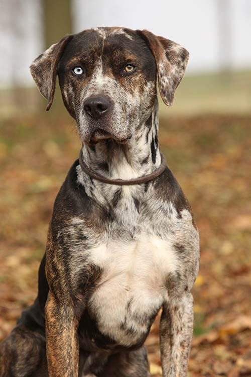 Catahoula Leopard Dog Dog Breed Information Leopard dog