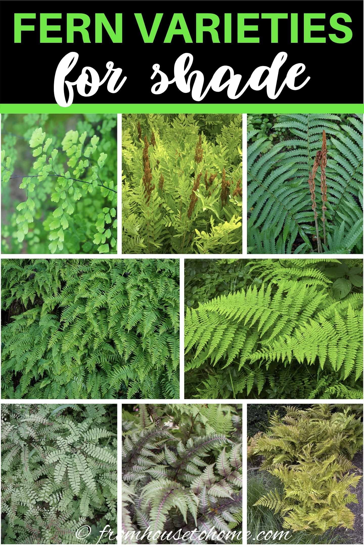 20 Winter Hardy Fern Varieties In 2020 Shade Garden Plants Evergreen Ferns Shade Plants