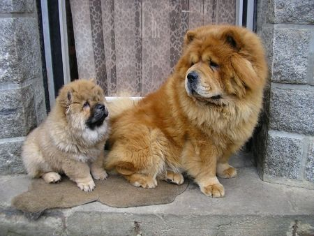 Mama And Baby Chow Chow The Mama Looks Like The One We Had With