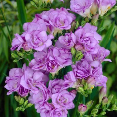 Van Zyverden Freesias Double Blooming Lavender Set Of 25 Bulbs In 2020 Freesia Bloom Perennial Garden Design