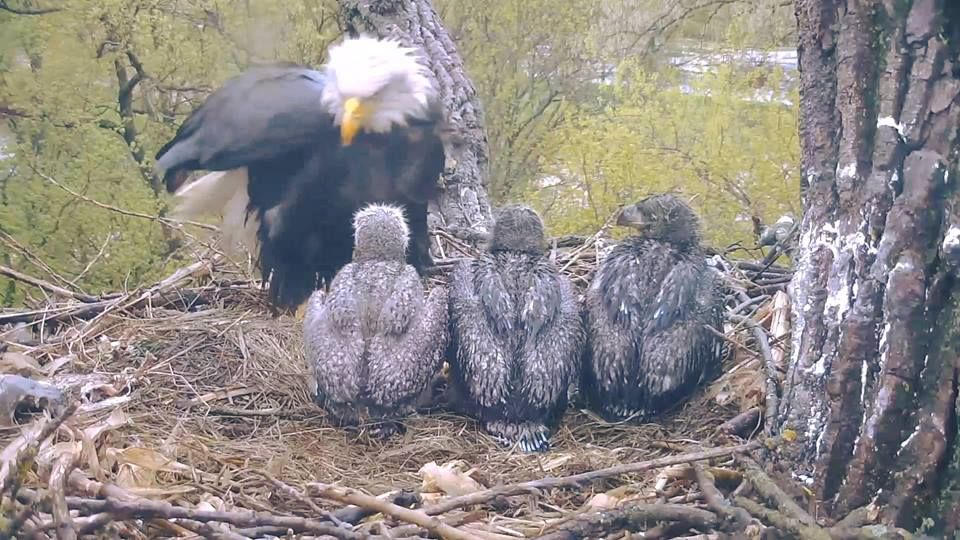 Decorah 5/1/17 Decorah eagles, Bald headed eagle, Eagle
