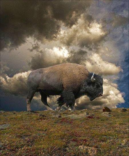 Majestic buffalo...