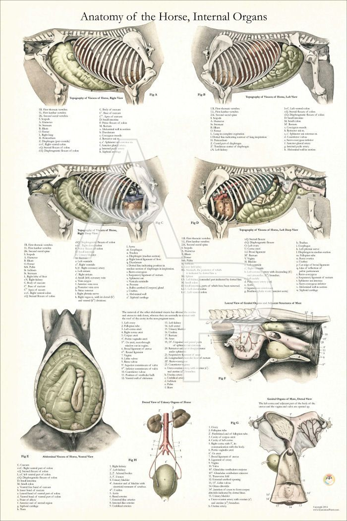 Internal anatomy of the horse. Vintage anatomical illustrations with ...