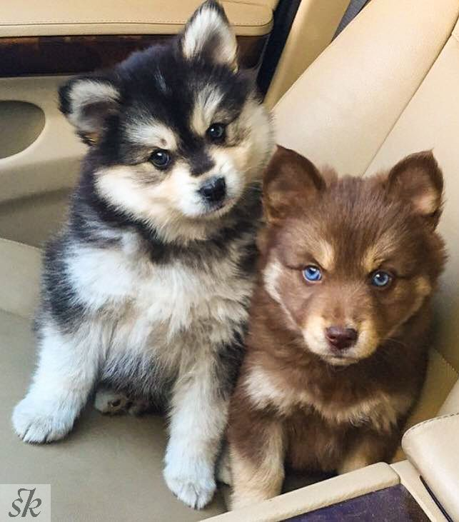 Hybrid Husky Pomeranian Mix Pomsky Real Cute Animals Cute