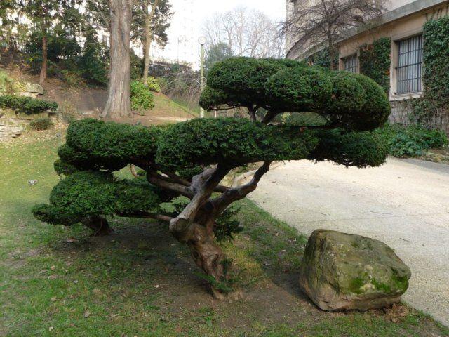 Niwaki et taille japonaise g l s vazonuose pinterest for Taille olivier en nuage