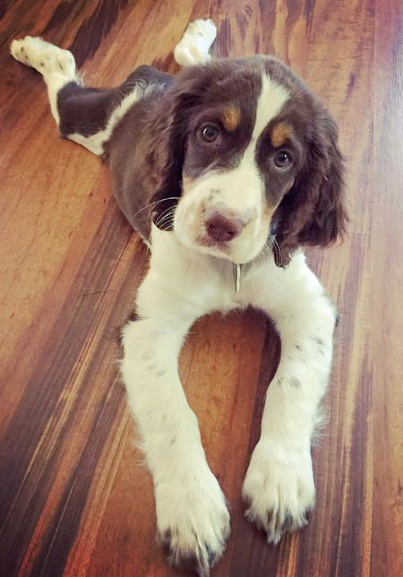 Bailey The Springer Spaniel From Your Friends At Phoenix Dog In