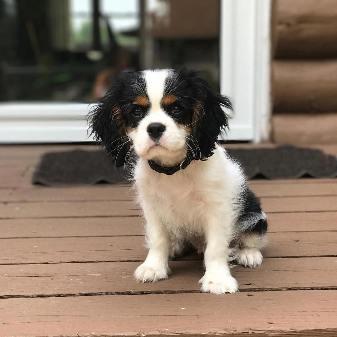 Cavalier King Charles Spaniel Graceful And Affectionate King Charles Cavalier Spaniel Puppy Cavalier King Charles Spaniel Tricolor Cavalier King Charles
