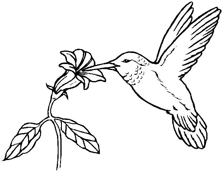Hummingbird Coloring Pages Coloring Index applique