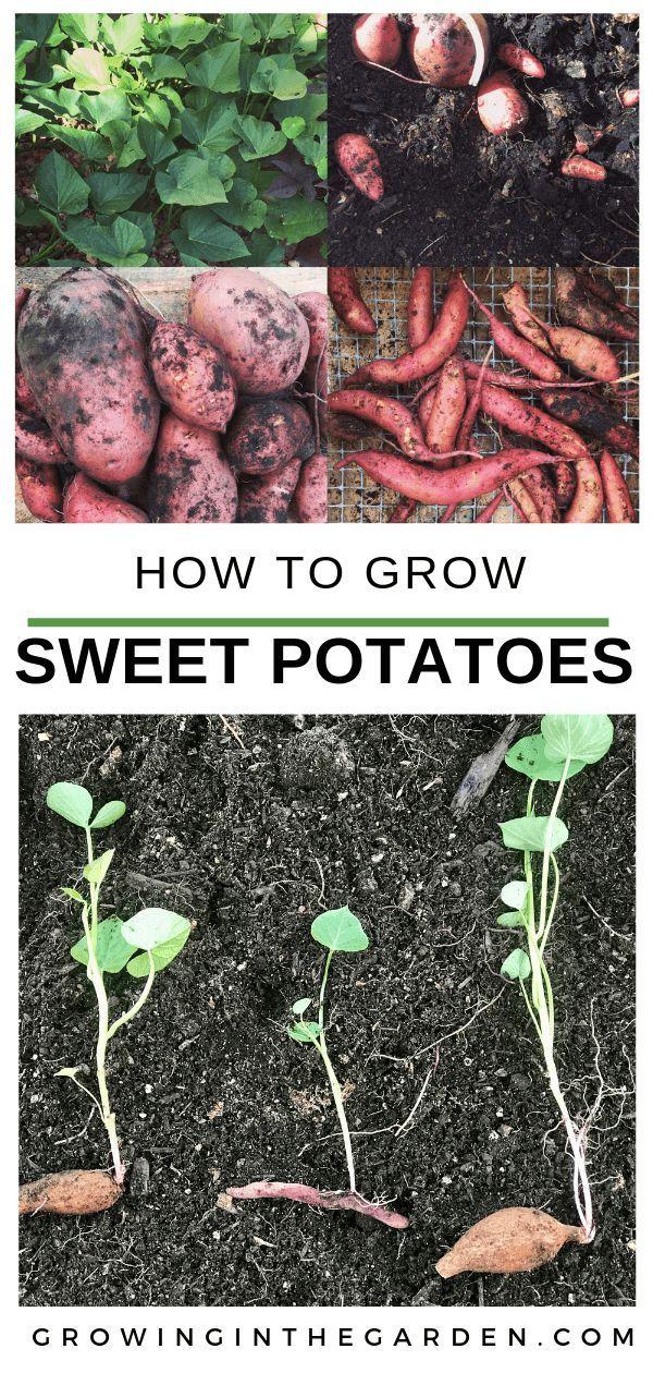 How to Grow Sweet Potatoes | Growing In The Garden