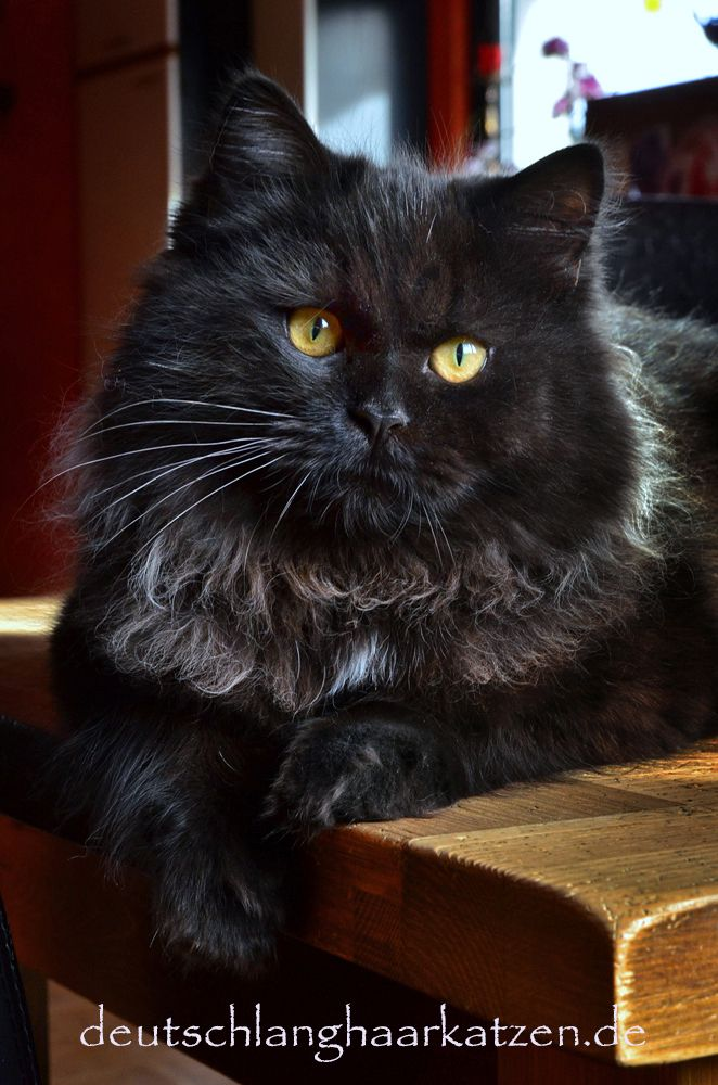 Der schwarze Niko #gingerkitten