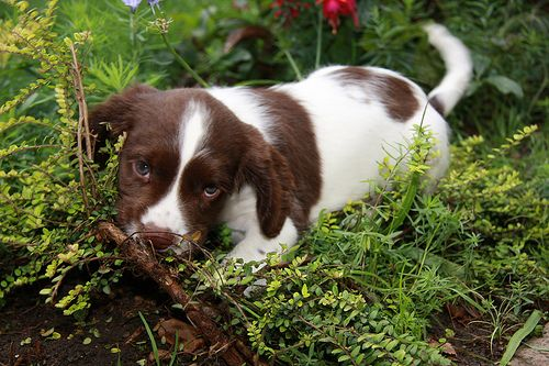 Our 7 Week Old Springer Spaniel Puppy Img 8173 Springer Spaniel Puppies Dogs Funny Dogs