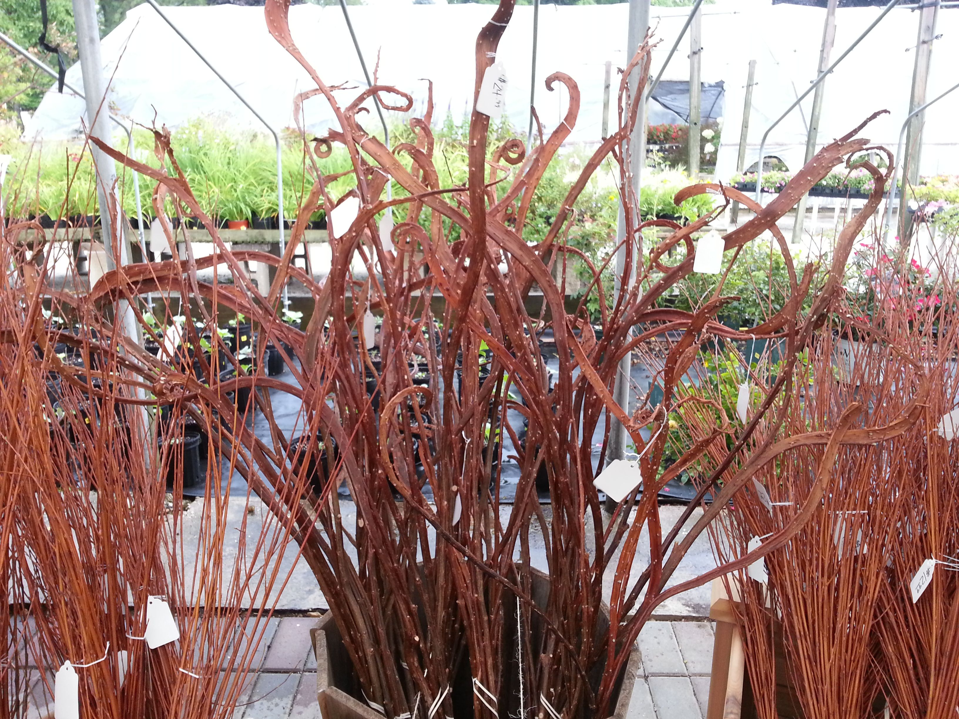 Japanese Fantail Willow Salix Sachalinensis Sekka Very Cool For Your Fall Pots Containers Www Westendflorist Com Fall Pots Salix Garden