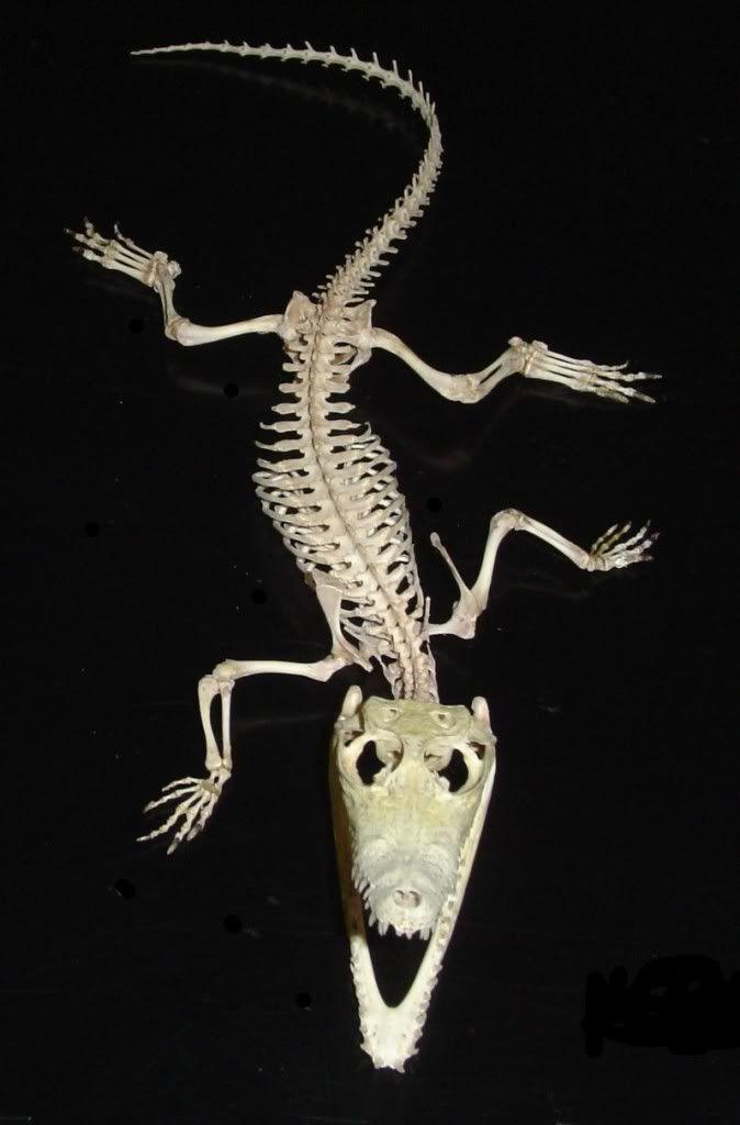 Alligator Skeleton Photo by someoldwickedshit | Photobucket | 1302 ...
