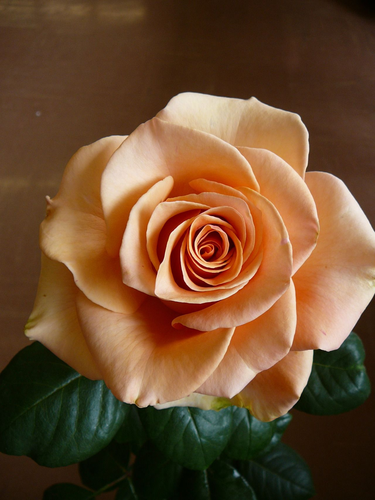 marilyn monroe rose this color is burned into the brains of