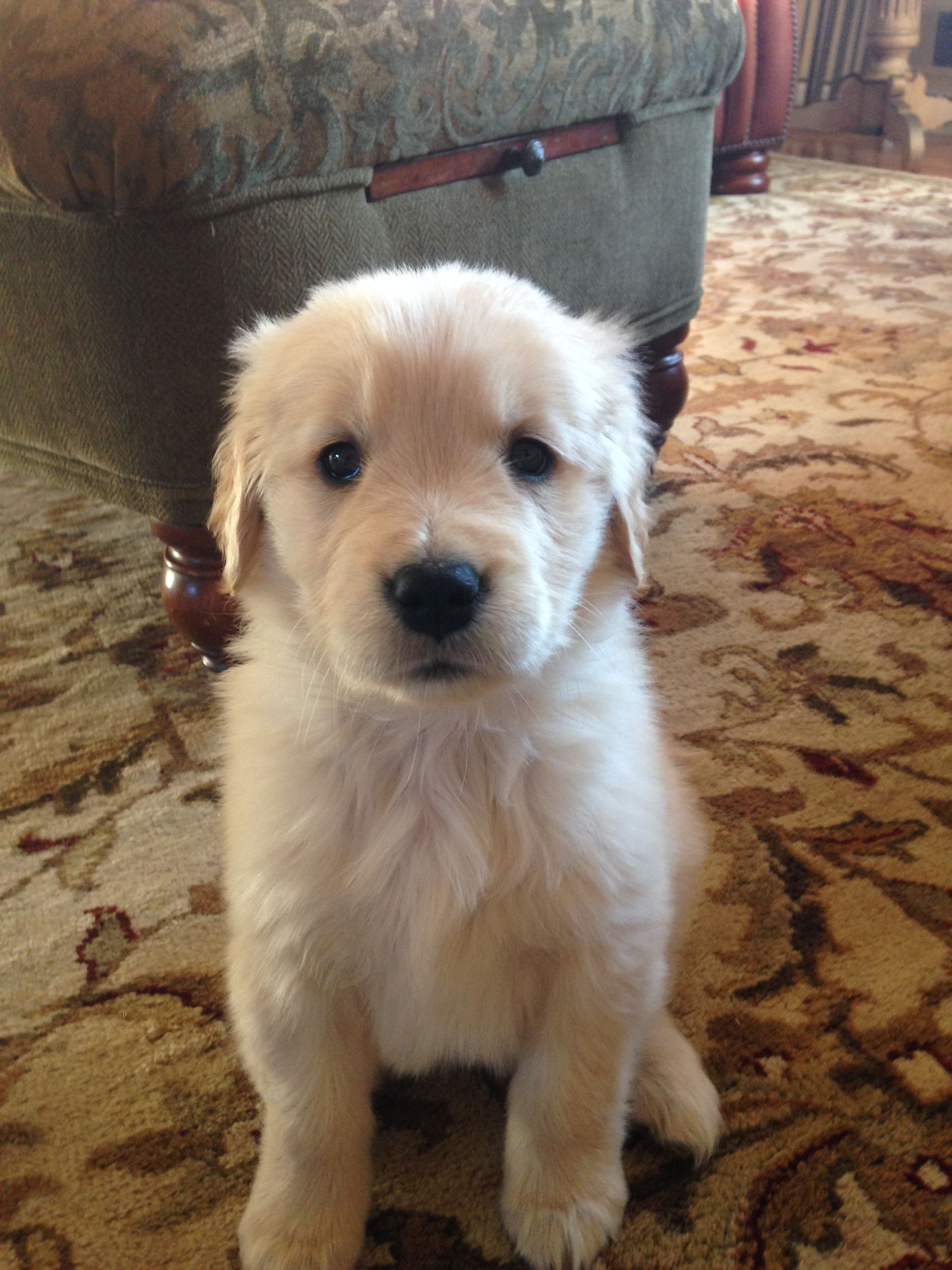 Most Photogenic Puppy You Ll Ever See Puppies Golden Dog Cute Dogs