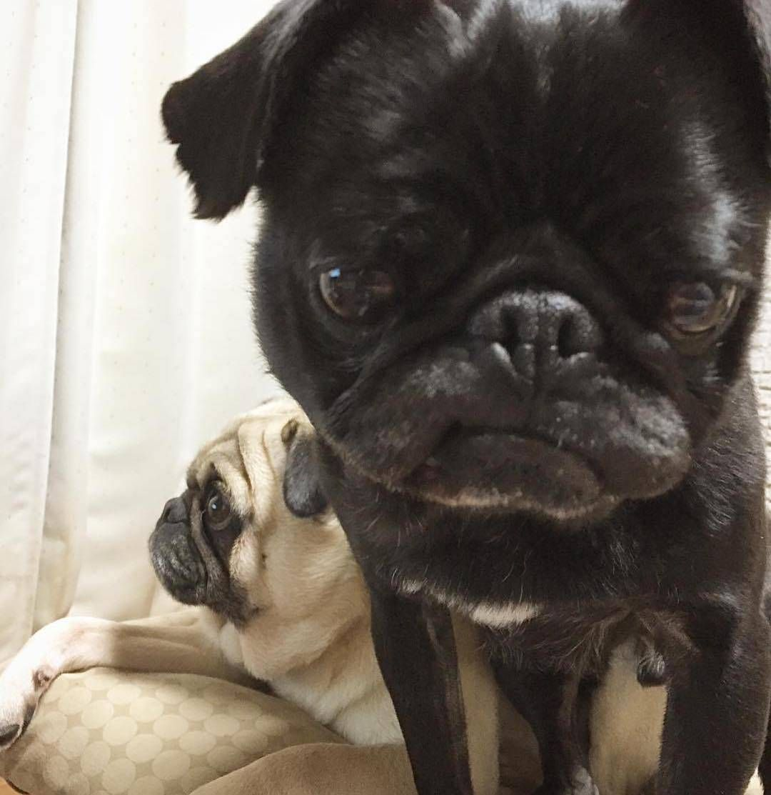 Original Pug Awesome Animals Cute Pugs Funny Dog Pictures