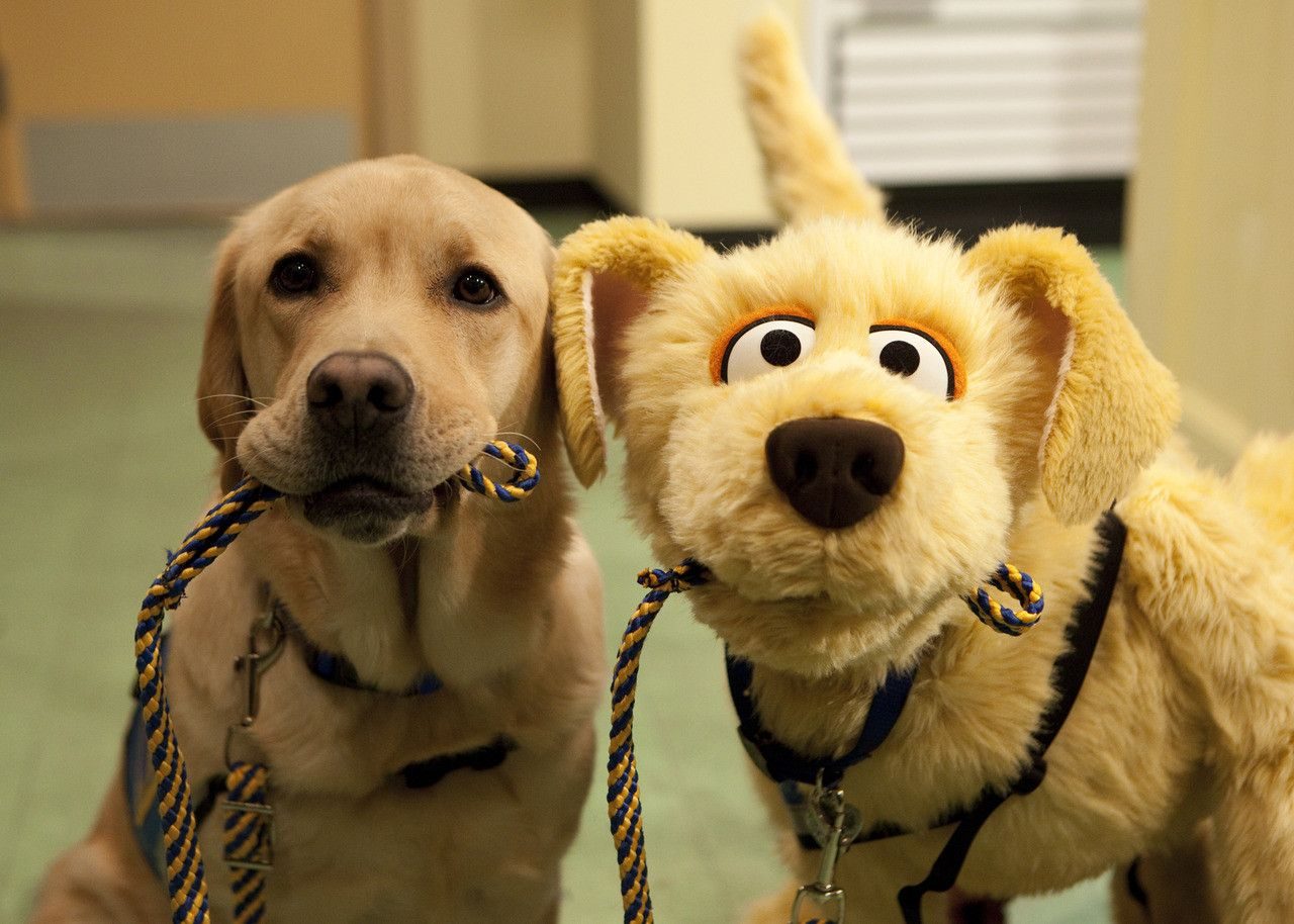 Meet Brandeis The Newest Sesame Street Character He S A Service Dog Making A Difference In Children S Life Service Dogs Service Animal Cute Dogs