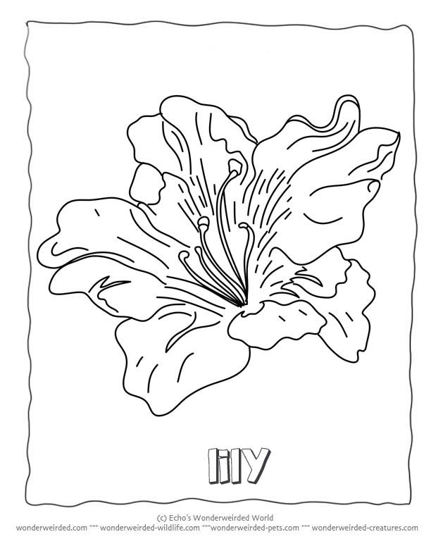 Flower Coloring Sheets Lily,Free Printable Flower Coloring Pages - copy free coloring pages of hibiscus flowers
