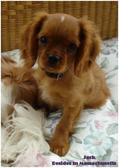 Cavalier King Charles Spaniel Puppies Black Tan Ruby Oklahoma Texas King Charles Cavalier Spaniel Puppy Cavalier King Charles Cavalier King Charles Spaniel