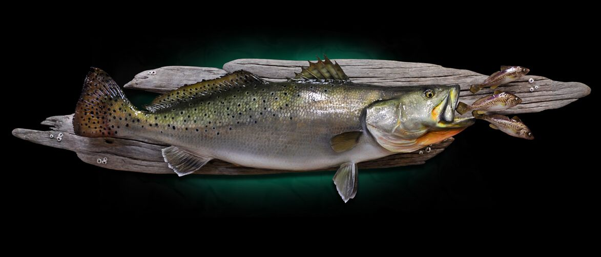 Speckled Trout Mount Trout Taxidermy Speckle