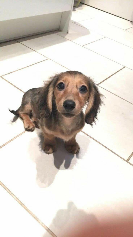 The Curious Daschund Puppies Health Daschundslover Daschundsrule