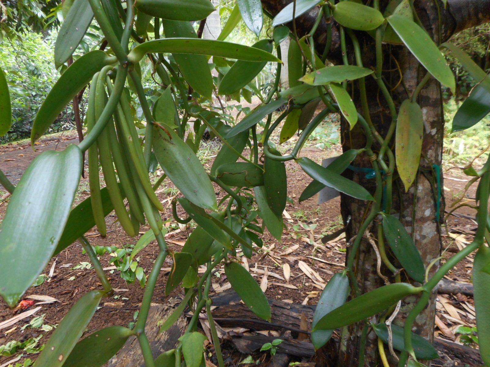 Vanilla Beans, Steelgrass Chocolate Farm, Kauai | My Hawaii Photos ...