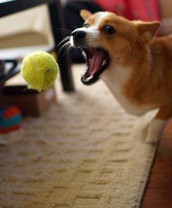 Who Needs A Baseball Glove Corgi Corgi Corgi Dog Corgi Addict