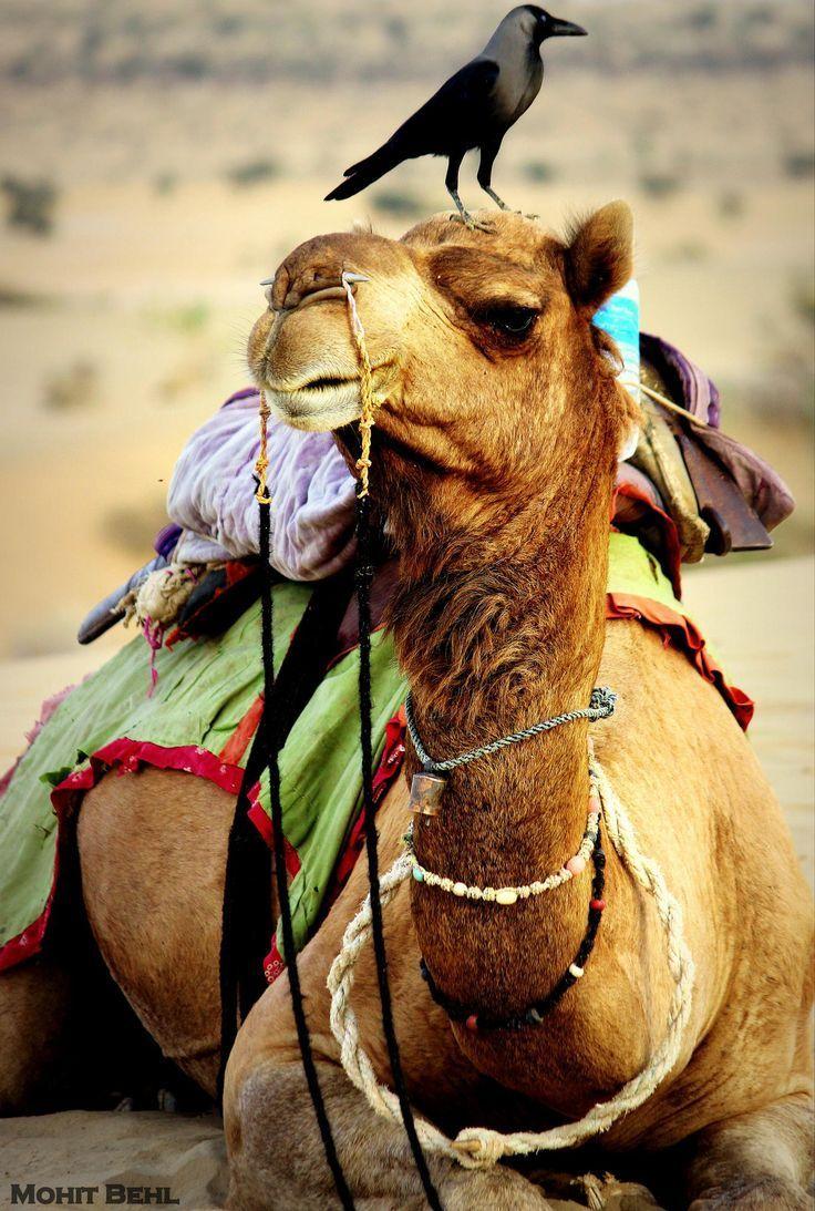 Kamel, Kamele, Tiere