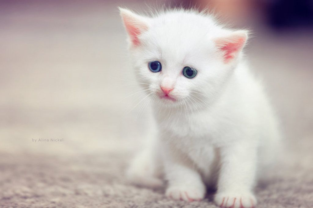 Cute Cats Google Search Kittens Cutest Cute Cats Images Of Cute Cats Beautiful white kitten wallpaper