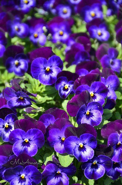 Purple Pansies Pansies Flowers Pansies Purple Flowers