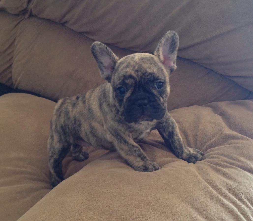 Akc French Bulldog Puppy For Sale In Anaheim California Hoobly