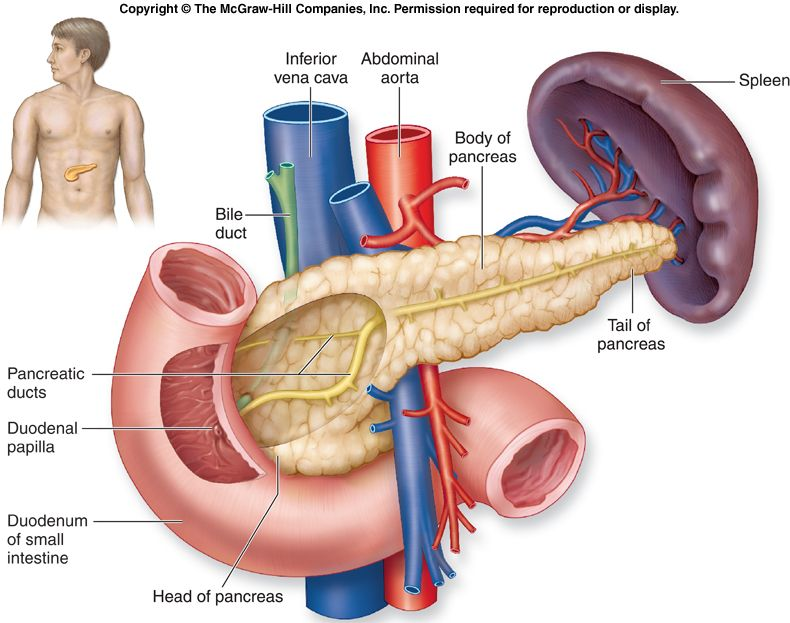 Exocrine functions of the pancreas | Knowing Deeper About Endocrine ...