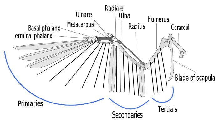 owl wing diagram